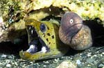 Two moray eels