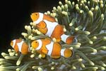 Clown anemonefish